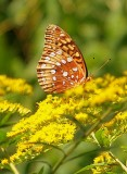 Goldenrod Attracts a Great Spangled Fritillary