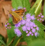 Folded Skipper Perched on a Mistflower