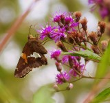 Tall Ironweed Entices a Silver-spotted Skipper