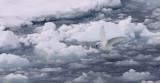 Snow-petrel.jpg