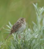 Bairds-Sparrow-2.jpg