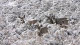 mule-deer-snow-II.jpg