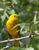 Yellow Warbler   28 May 09   IMG_3799.jpg
