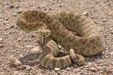 prairie-rattlesnake.jpg