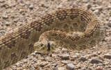 prairie-rattlesnake-IV.jpg