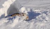 white-tailed-Jackrabbit-IV.jpg
