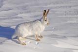 white-tailed-jackrabbit-V.jpg