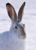 white-tailed-jackrabbit-XI.jpg