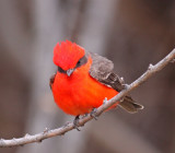 vermillion-flycatcher-II.jpg