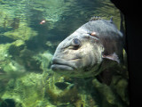Blurry.  Giant fish - and it was named well.