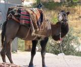 A very curious camel.