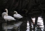 Swan trio 1