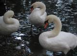 Swan trio 2