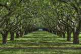 3/29/10- Almond Orchard