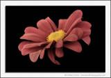 Faded Chrysanthemum
