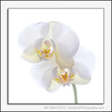 White on White Orchid