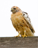 Red-tailed Hawk  (same hawk from yesterday)