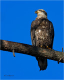 Bald Eagle  (3rd  year bird)