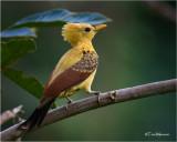 Cream-colored Woodpecker (female)