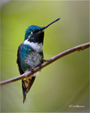 White-bellied Woodstar