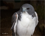 White-tailed Hawk   (captive)