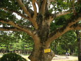Surviving tree from the atomic bombing
