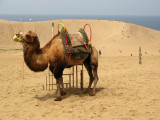 Camel out on the dunes