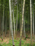 View through the bamboo forest
