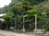 400-year old giant cycad