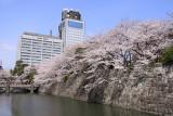 Sakura along the outer moat