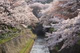 Sakura around the Biwa-ko Canal entrance