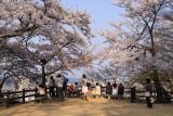 Sakura around the lookout point