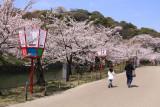 Sakura along the inner moat