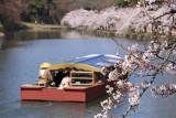 Yakata-bune and cherry blossoms