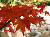 Japanese maple leaves detail