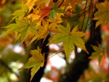 Yellow maple leaves detail