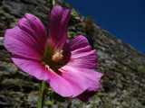 Wild flower by the castle walls