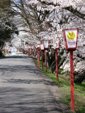 Hanami lanterns and sakura trees