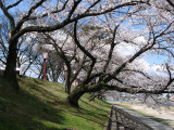 Cherry blossoms along the riverbank