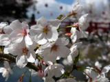 Sakura detail in Okazaki-kōen