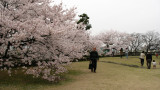 Viewing the sakura on the old castle grounds
