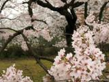 Cherry blossom branches, Fukui Castle Ruins
