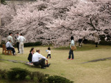 Relaxing and enjoying the cherry blossoms