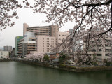 Modern Fukui scenery with sakura