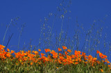 Poppies at  Lake Elsinore,CA