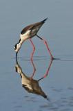 Black-necked stilt. TOM_6231c.jpg