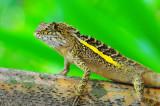 Lizard of Taiwan