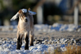 Goats at fish farm.