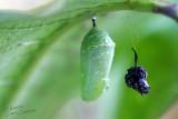Monarch Butterfly Chrysalis