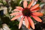 IMG_2161-Cone_Flower.jpg